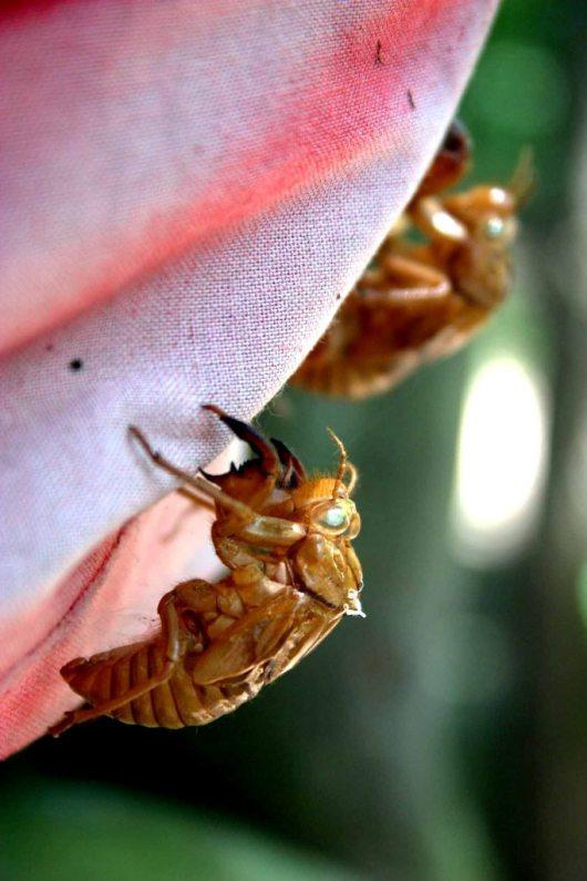 CicadaSkins