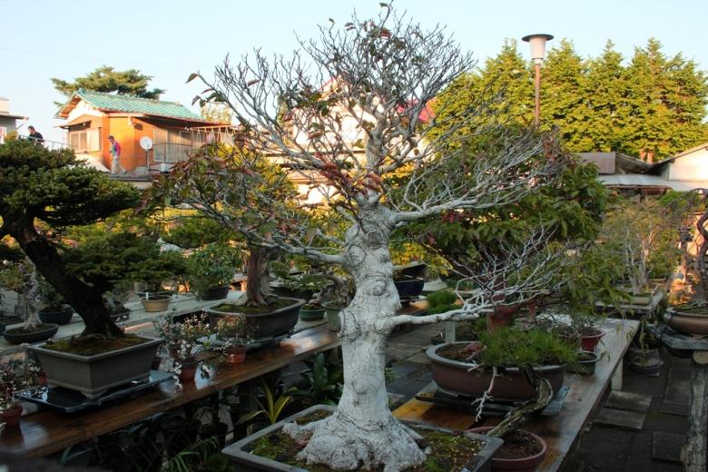 bonsai-mura1