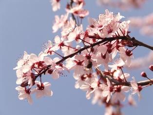 Cherry Blossoms vs. Plum Blossoms | Quirky Japan Blog